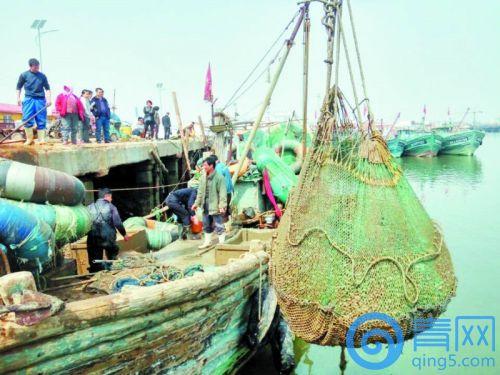 """一天出水30吨  山东青岛胶州湾春蛤蜊抢""""鲜""""上岸"""