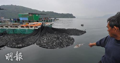 香港逾万条鱼突然集体死亡 渔民称损失300万港元