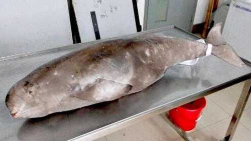 上海临港海边现江豚尸体 疑误入渔网后窒息而死