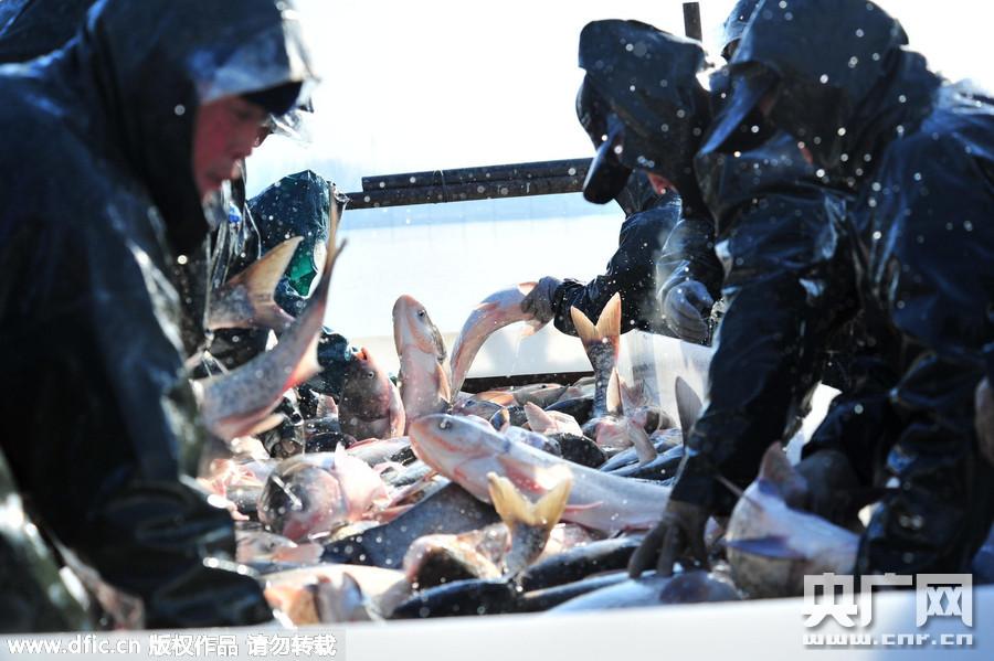河南汝南宿鸭湖冬捕拉开序幕 日出鱼20多万斤