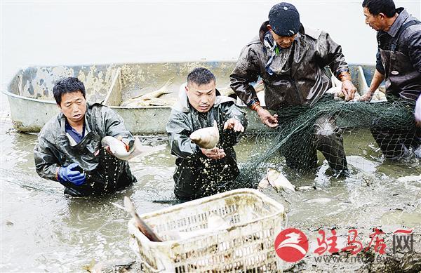 河南驻马店市正阳县吕河乡胡庄村鱼丰收