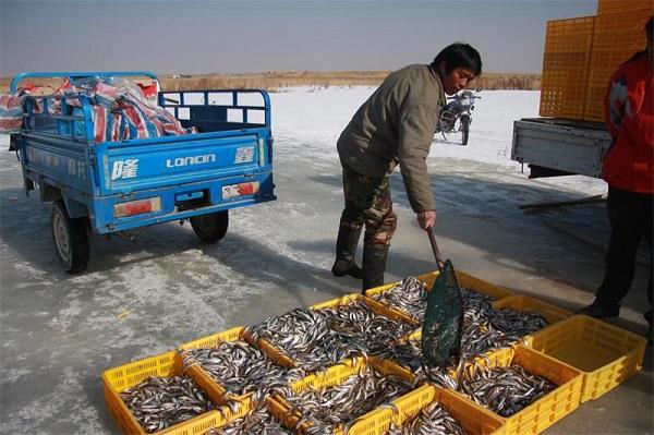 新疆博斯腾湖池沼公鱼进入捕捞期