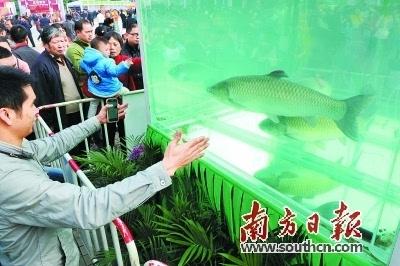 """供港澳鱼类上市前先""""瘦身"""""""