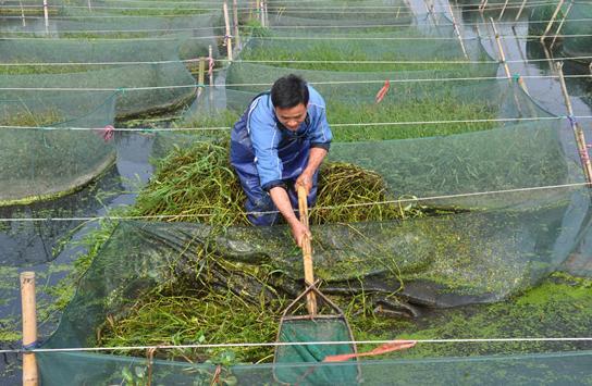 三伏天网箱黄鳝饲养的四个关键技术