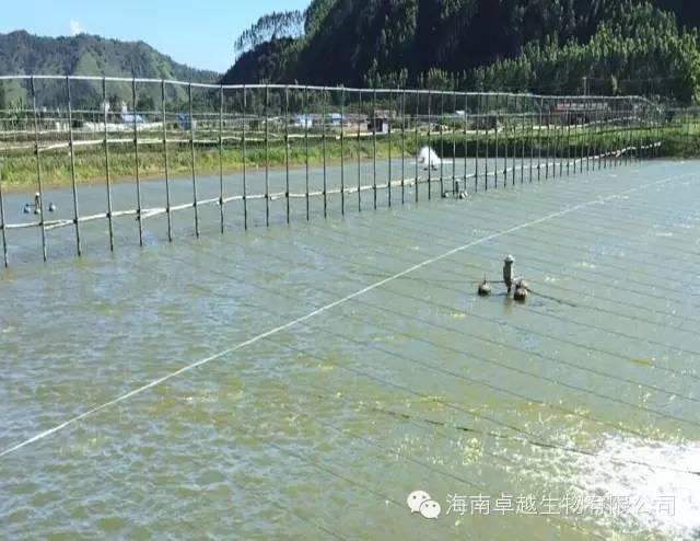 台湾泥鳅高效精养实用技术