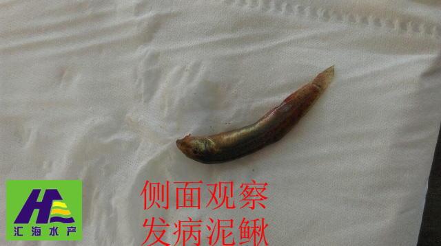 泥鳅养殖过程中常见病害处理方案及案例分享