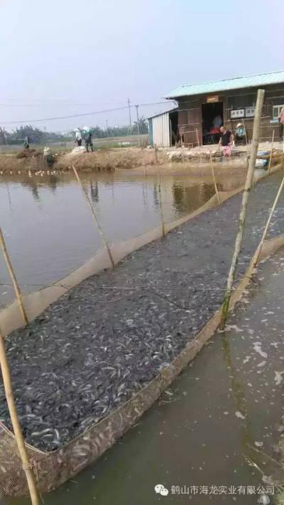 冬春季节泥鳅养殖水霉病的防治建议