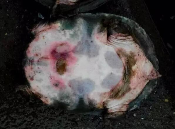 越冬以后体质变差导致甲鱼红底板的处理措施