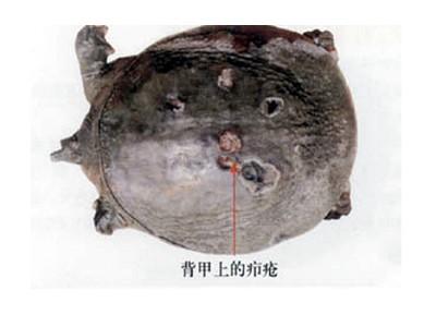甲鱼养殖过程中疖疮病的处理方法介绍