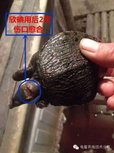 甲鱼烂头烂爪的病因以及预防治疗方案