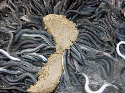 鳗鱼摄食后发生吐食的原因与解决方法