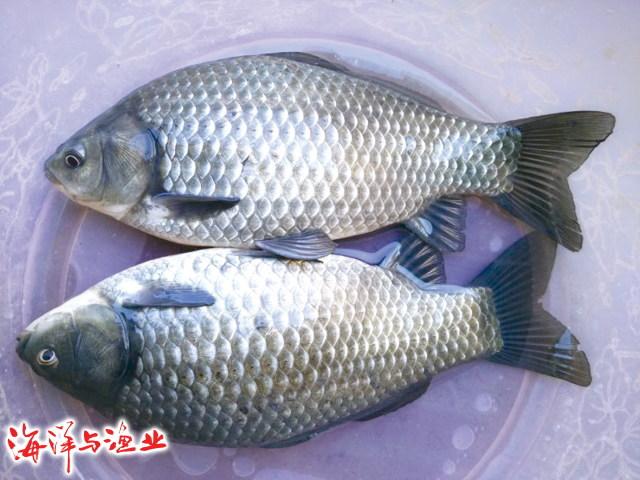中科3号鲫鱼的品种优点和养殖条件要求