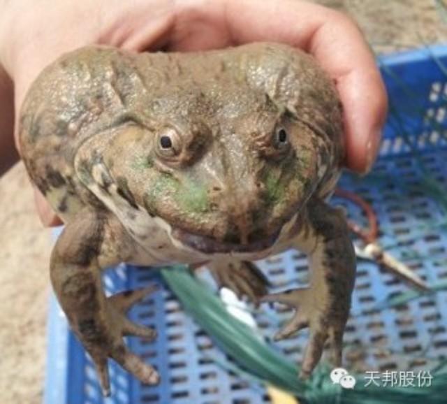 使用天邦全熟化蛙料牛蛙亩产突破41000斤纯利润20万