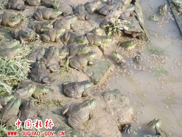牛蛙养殖前景广阔