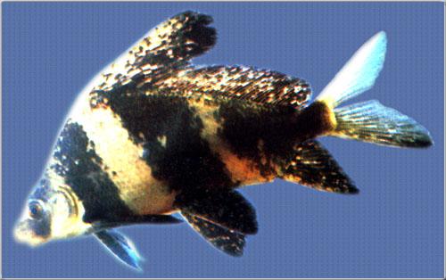 胭脂鱼人工繁殖技术