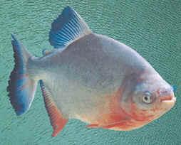 淡水白鲳亲鱼的来源和选择