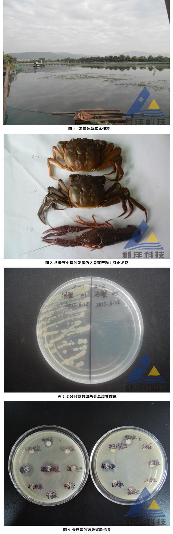 白斑症病毒(WSSV)引起小龙虾、河蟹发病一例