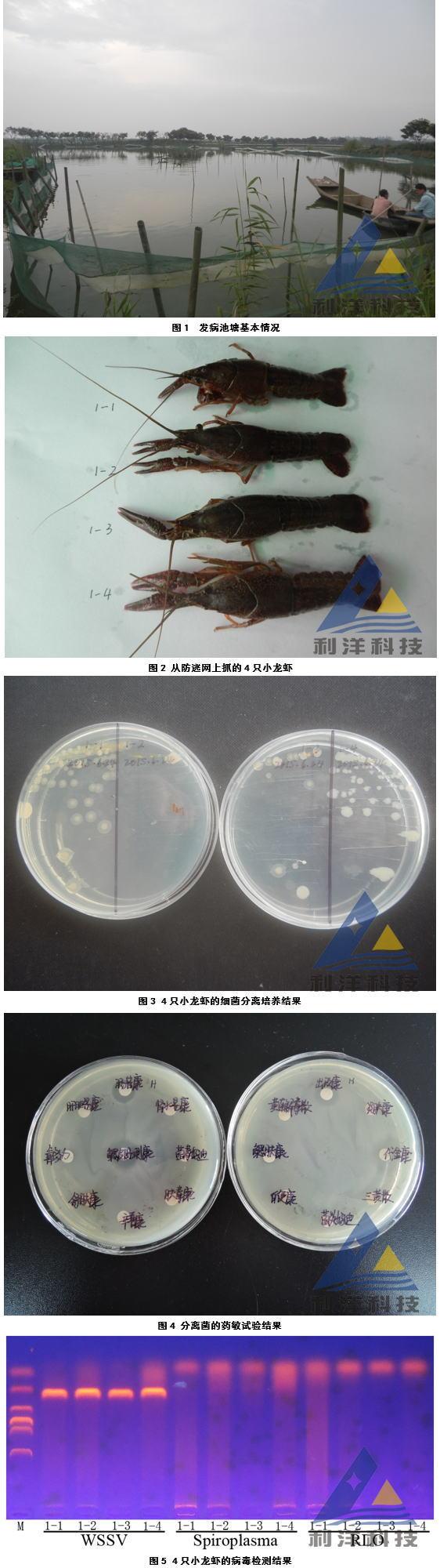 发病小龙虾白斑症病毒(WSSV)检出一例