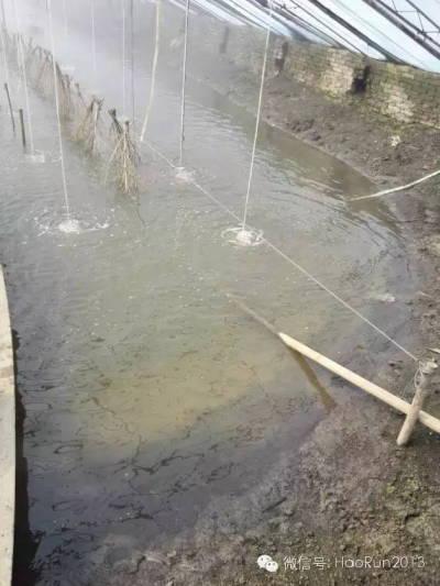 罗氏沼虾大棚水色发淡水体藻类不多的肥水建议