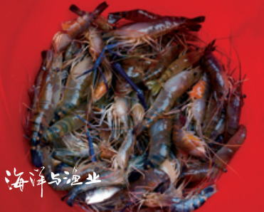 罗氏沼虾蚤状幼体培育技术