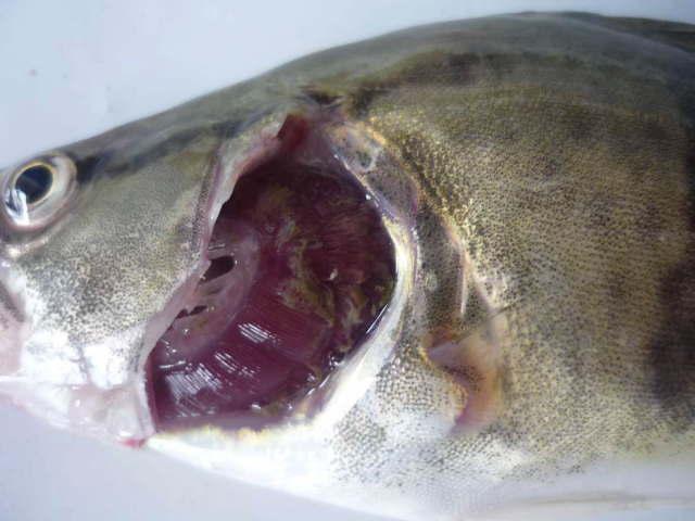 看看专业鳜鱼群里面的人如何看待鳜鱼斜管虫病