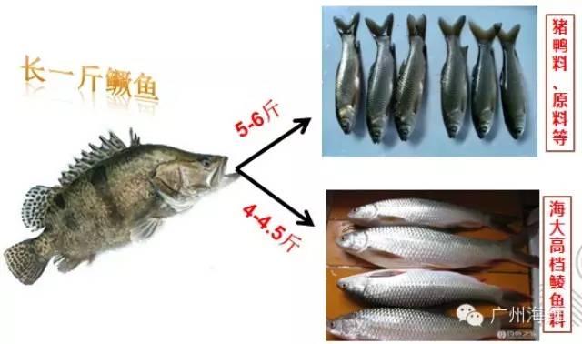 鳜鱼Beplay官网版每亩纯利润一万八,只因用了海大料058