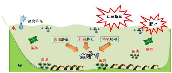 【春病冬防】黄颡鱼养殖户如何预防早春水霉病烂皮病