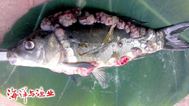 鲤鱼淋巴囊肿病病原及防治措施