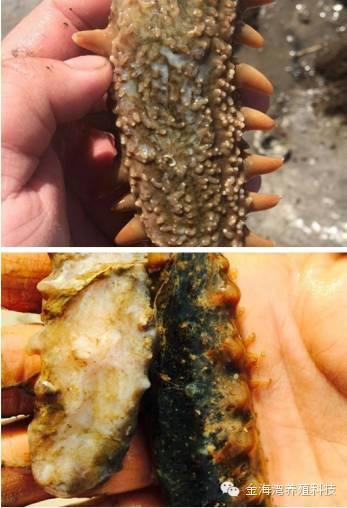 提质增效,你重视海参的免疫力了吗?
