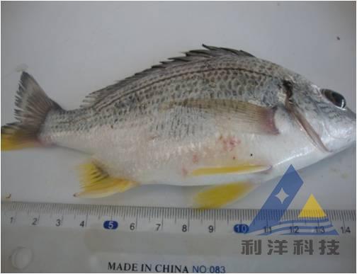 解毒改底增氧方法处理黄鳍鲷链球菌病一例