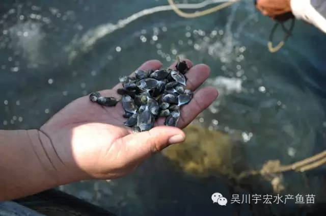金鲳鱼养殖过程中最易出现的几个病例防治方法