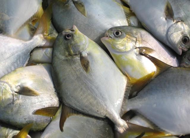 鱼排网箱养殖金鲳鱼的海区选择和养殖技术详解