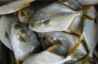 金鲳鱼养殖品种及成鱼池塘养殖技术详解