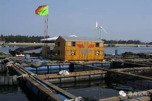 金鲳鱼网箱养殖鱼苗标粗技术