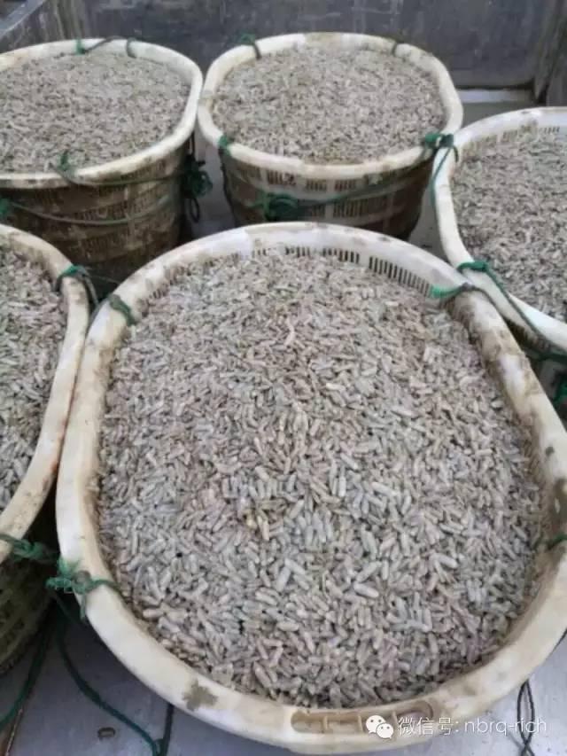 虾蟹混养池塘如何保蛏苗—毒素处理篇