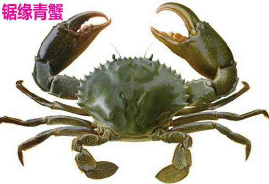 【青蟹怎么养】锯缘青蟹最新养殖技术