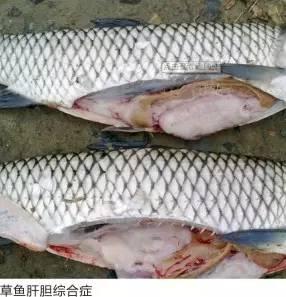 鱼类肝胆综合症的症状、发病原因及防控措施