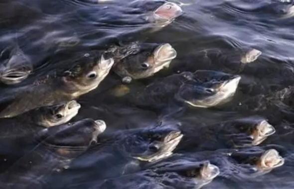 鱼儿缺氧浮头、吃食不旺、不靠近增氧机等应激症状的判断与防控方案