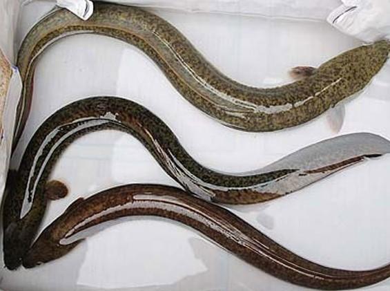 [每日农经]似蛇非蛇 鳗鲡养殖寻商机