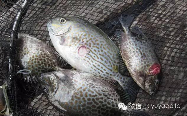 篮子鱼锥体虫病的症状和发病原因分析
