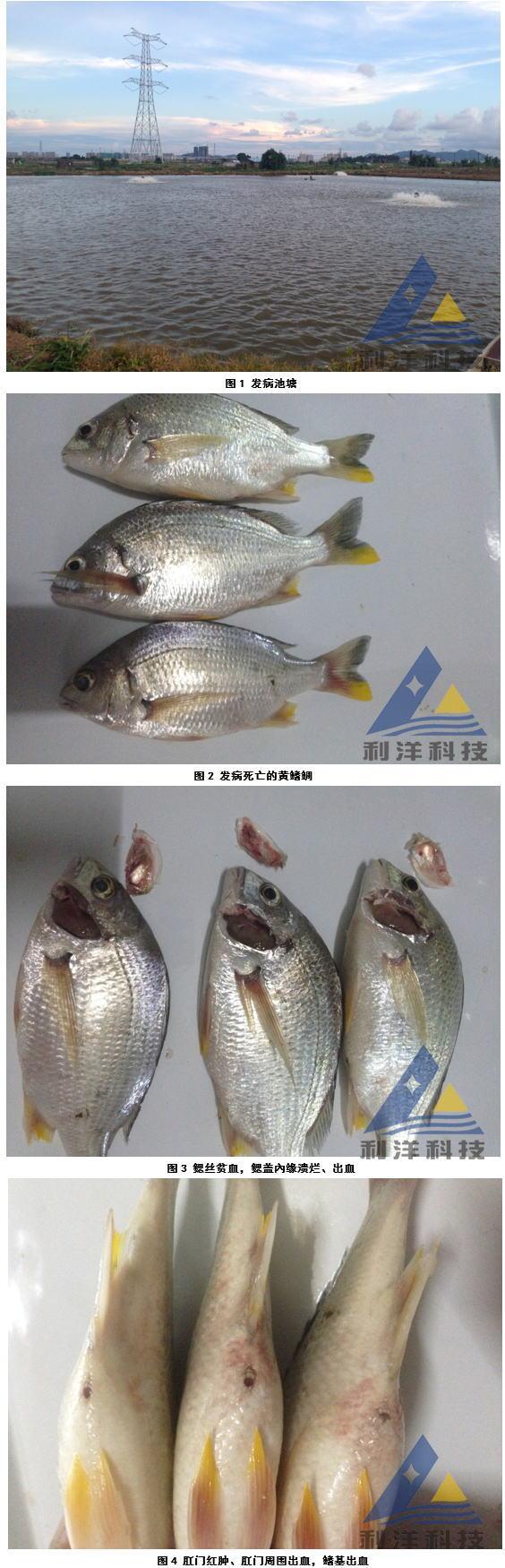 黄鳍鲷感染链球菌、死亡一例