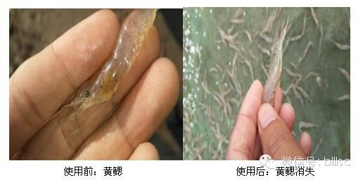 脊尾白虾黄腮病处理一例