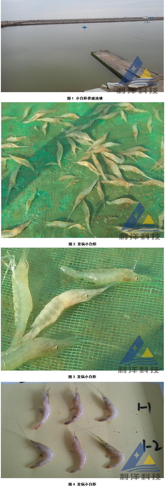 脊尾白虾感染血卵涡鞭虫游塘、死亡一例