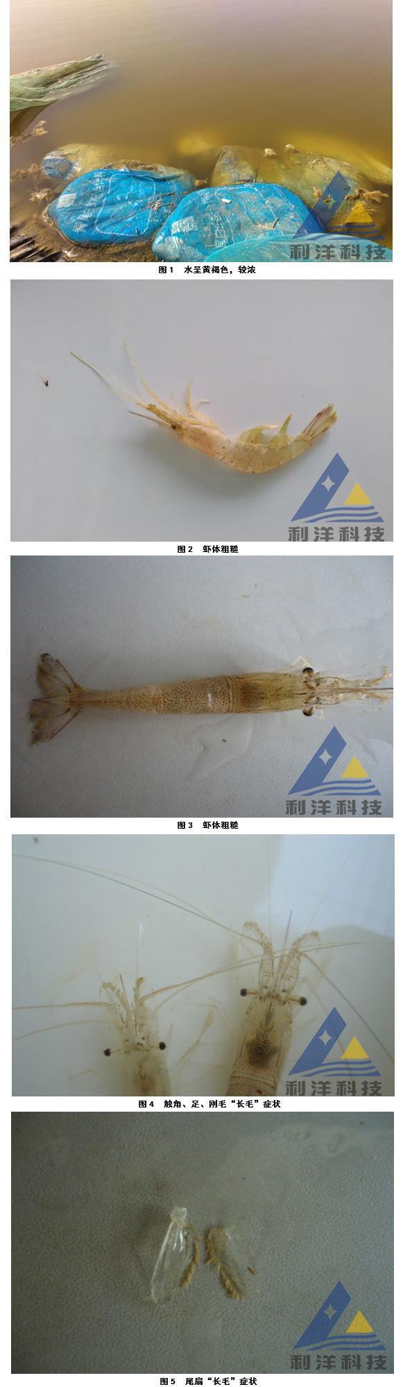 """脊尾白虾""""长毛虾""""处理一例"""