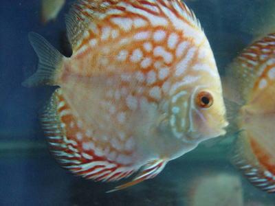 七彩神仙鱼的繁殖要诀