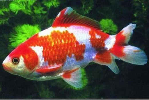 金鱼的品种及特点