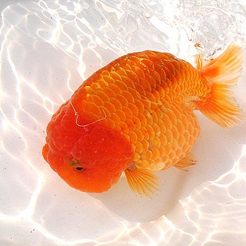 金鱼白点病预防与治疗方法
