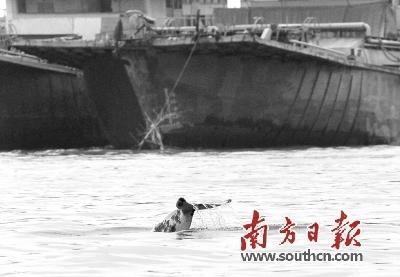 白海豚多次闯入内河 专家:或因年老迷途
