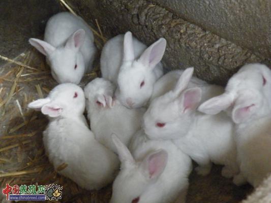 2015年4月16日獭兔最新价格行情